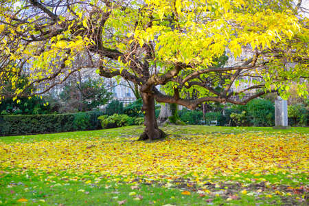 One yellow autumn tree . Colorful fallen autumn leaves on green grass