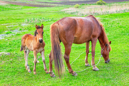 Mare and baby foal on the meadow 写真素材
