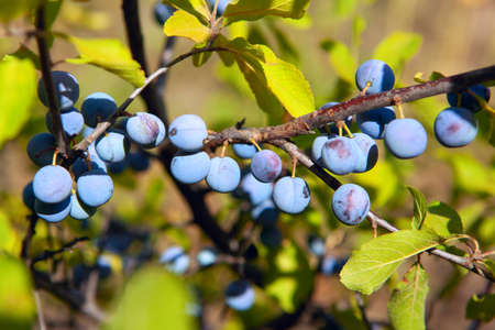 Sloes berry growing on the branch . Prunus spinosa flowering plant in the rose family Rosaceae