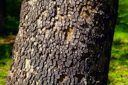 Tree bark in squares pattern . Trunk of conifer tree