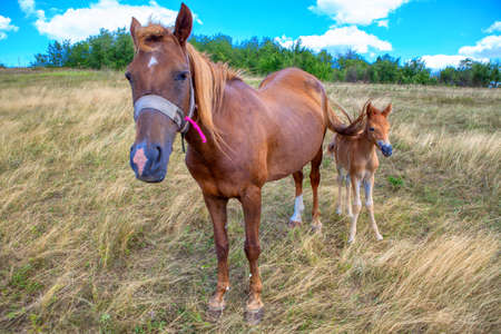 horses on the meadow . Mother and baby horse