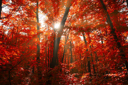 Red autumn forest with sunlight . Spectacular woodland in the fall season