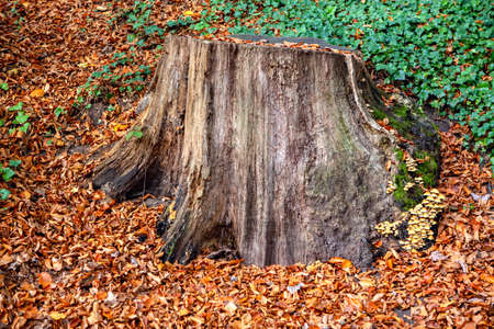 Stump and autumn leaves  . Mushrooms in the autumn forest