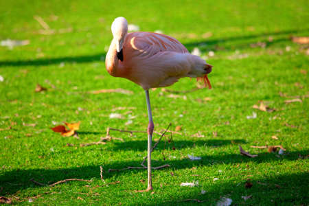 Flamingo on the green meadow . Exotic bird standing on one leg