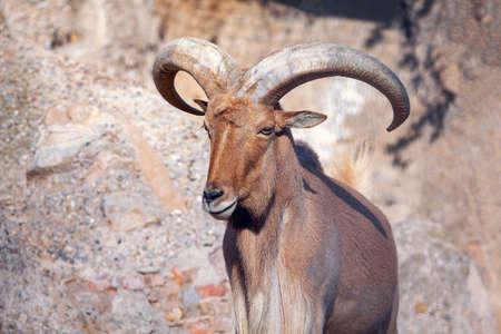 Portrait of young Mouflon with big horns Stok Fotoğraf - 154941251
