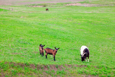 Domestic goats on the meadow . Two young and one mature goats