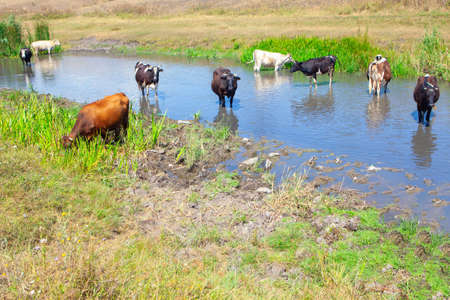 Domestic cows standing in the water . Cattle in the summer