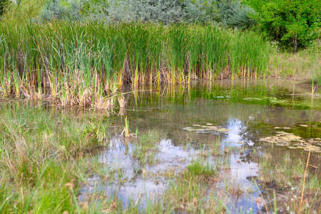 Nature of swamp with green reeds