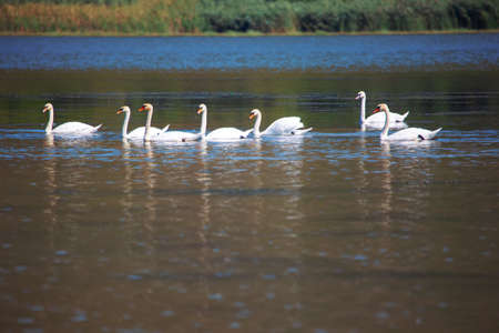 flock of wild and white swans