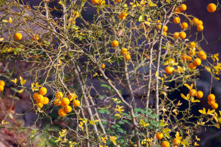 Lemon tree with fruits in the autumn