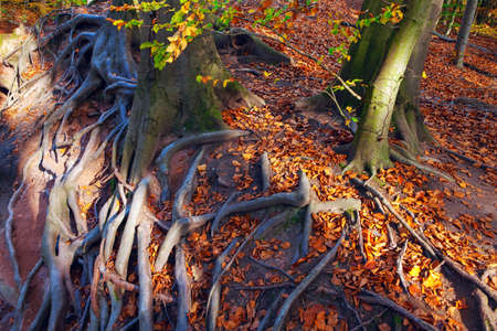 Tree external roots with autumn foliage Stok Fotoğraf