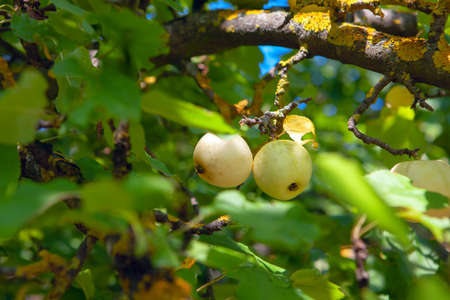 Uncultivated apples growing in the forest