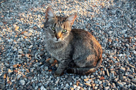 Cute grey cat on the pebble . Domestic animal on the pebble beach