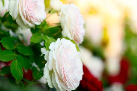 Rambler Roses growing in the garden Stok Fotoğraf - 155199071