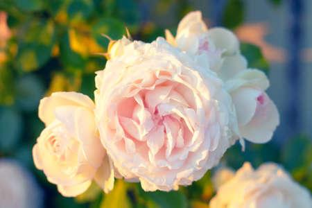 Growing beige rose in bloom Stok Fotoğraf - 155199204