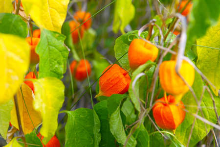 Chinese Lantern Plants in Autumn . Forest plants also can be grown in tubs Stok Fotoğraf