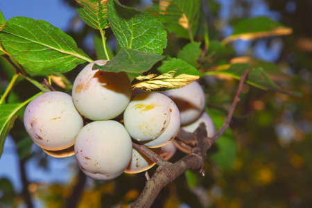 Greengage Plum fruits growing on the tree Stok Fotoğraf