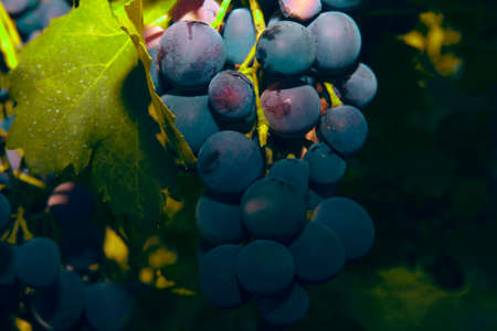 grapes in the soft evening light Stok Fotoğraf