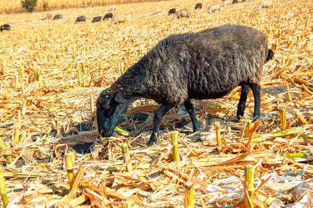 Dark sheep on the corn field