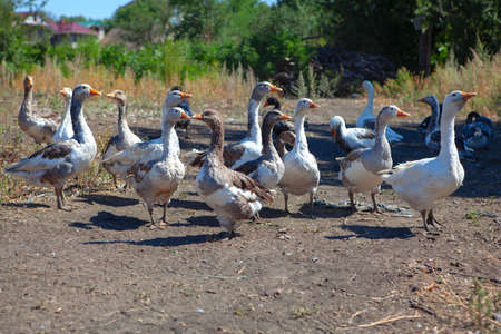 flock of domestic geese in village