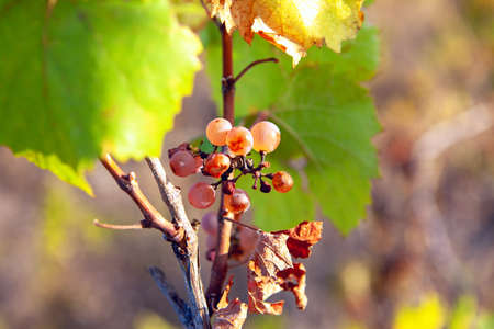 Poor grape harvest . Grapevine in the autumn