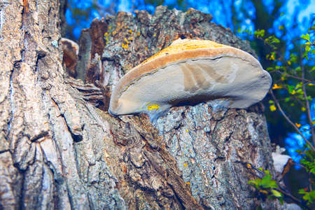 Shelf Fungus growing on a tree bark