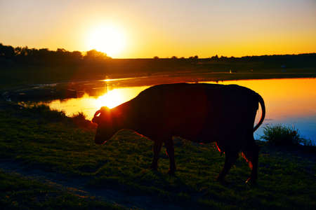 Cow in the dusk light on the river shore Stok Fotoğraf