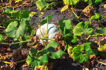 vegetable garden with growing pumpkins 스톡 콘텐츠