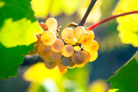 grape gathering in the autumn