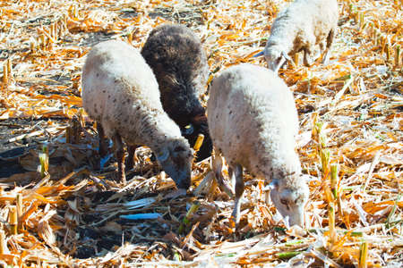 Farm sheep on the agricultural field in the autumn 스톡 콘텐츠