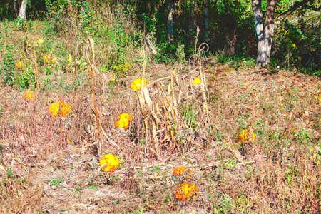 Pumpkin garden with round yellow fruits