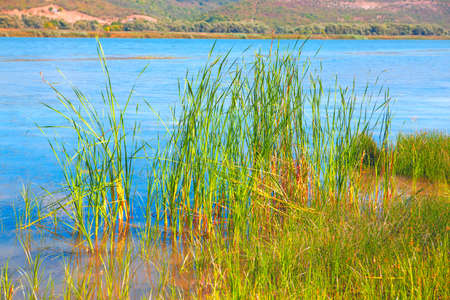 Aquatic grasses in the lake . Reed growing in the loch Stok Fotoğraf