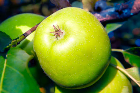 Green apple and leaves on a branches . Healthy fruit growing