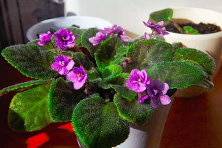 Potted violet flowers in bloom . Plants with wet leaves