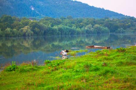 Stork on the green shore . Old sunken wooden boat