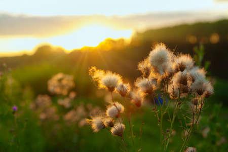 Fluffy flowers growing in the sunset light Stok Fotoğraf