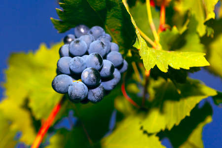 Villard grapes, french wine hybrid grape