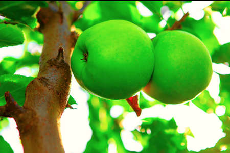 Crispin green apples growing on the tree