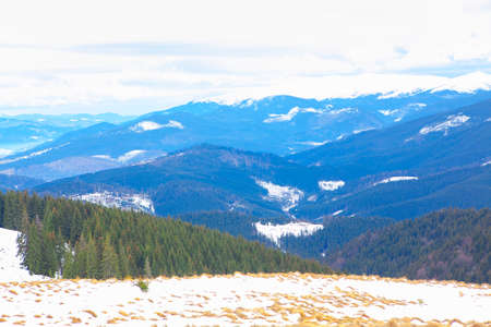 Coniferous Forest growing on the mountains in winter