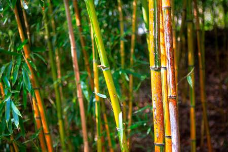 Evergreen perennial plants in the subfamily Bambusoideae . Bamboos grass family Poaceae Stockfoto