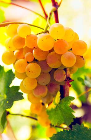 Golden sweet grape hanging on the vine