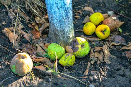 Apples fruits on the ground around tree trunk . Garden in the autumn Stockfoto