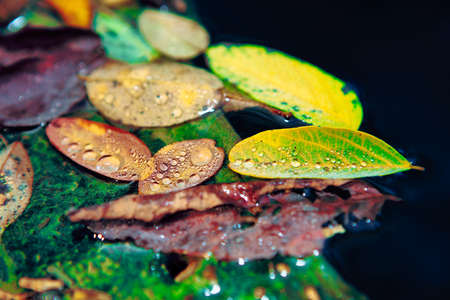 Autumn foliage with water drops . Fall leaves on the water surface