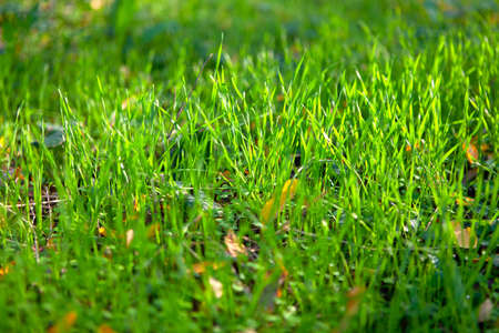 Autumn green grass in sunlight . Green natural background . Fall leaves in fresh grass
