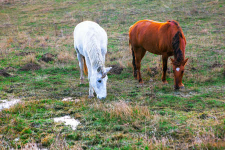 White and brown horses grazing together