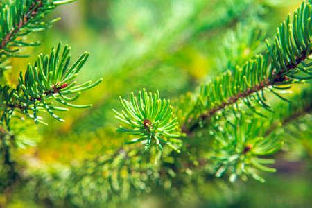 Macro Photo of  Needles on the fir branch . Evergreen tree branch