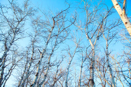 Trees without leaves against blue sky . Poplars in winter Stockfoto
