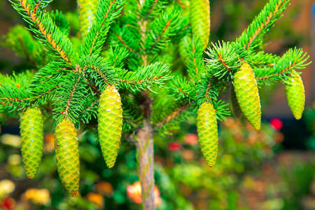 Growing Green Fir Tree with Fresh Cones