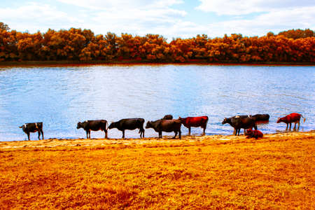 Cows in autumn . Cattle on the river shore in fall season