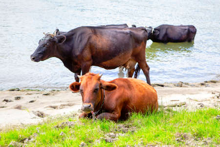 Cows on the riverside . Farm animals in the summer day Stockfoto